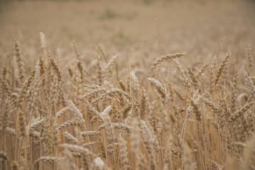 Cornfield with many stalks