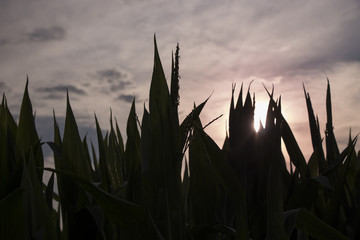 pink discolored sky over the cornfield