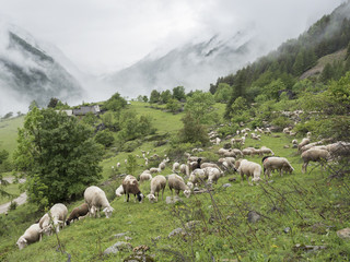 sheep in forest and mountains of national park des ecrins in the french alps of haute provence