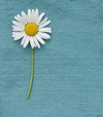 White daisy on blue napkin background