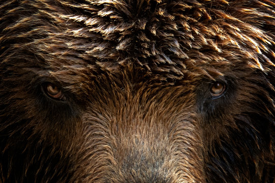 Kamchatka Brown bear (Ursus arctos beringianus), close-up detail portrait. Brown fur coat, danger and aggresive animal. Fixed look, animal muzzle with eyes. Big mammal from Russia.