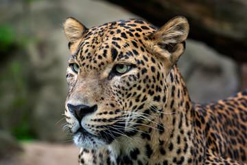 Ceylon leopard, Panthera pardus kotiya, Big spotted cat