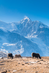 Three Domestic Yaks from the way to Ice Lake with Mount Gangapurna in background, Munchi, Annapurna Circuit Trek, Nepal