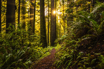 Redwood Rays, Redwood National Park, California