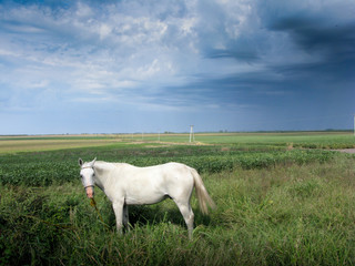 White horse field