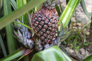 Pineapple plant leaf and fruit. Pineapple fruit on bush. Tropical garden harvest. Growing pineapple flower.