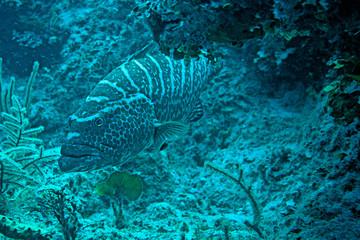 Black Grouper - Nassau, Bahamas