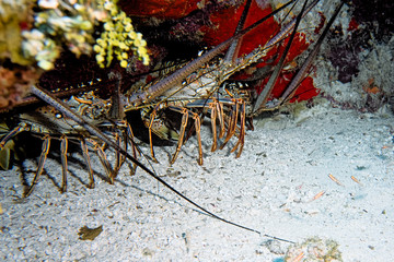 Lobster Family - Nassau, Bahamas