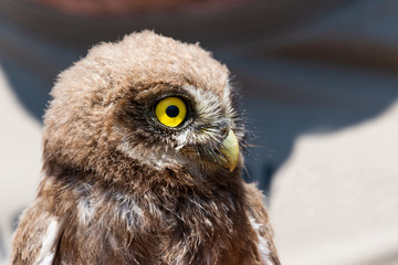 Portrait of little owl or Athene noctua