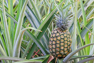 Pineapple on the bush - Oahu, Hawaii