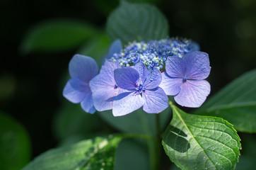 水色の額紫陽花