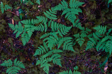 Ferns in the forest in Deming, Washington