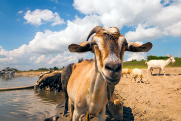 Close-up of a brown goat looks at the camera, in the background a flock of sheep and goats drinks water from a river on a warm summer day
