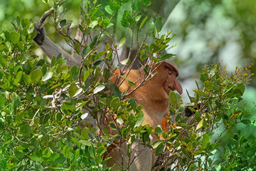 Proboscis monkey (Nasalis larvatus) - long-nosed monkey (dutch monkey) in his natural environment in the rainforest on Borneo (Kalimantan) island with trees and palms behind