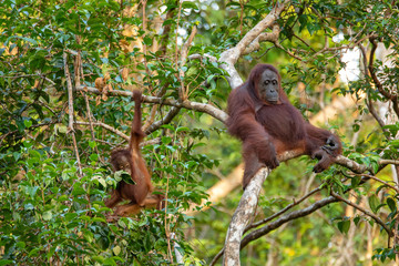 Orangutan (orang-utan) in his natural environment in the rainforest on Borneo (Kalimantan) island with trees and palms behind.