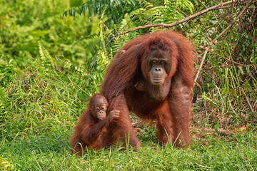 Orangutan (orang-utan) in his natural environment in the rainforest on Borneo (Kalimantan) island with trees and palms behind. Fotomurales
