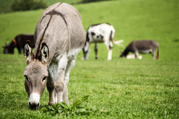Donkey in a field