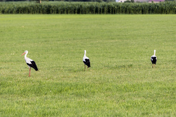 Three stork looking for food on the mown field. Site about nature, birds, animals, ecology.