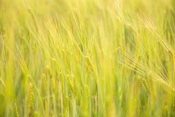green wheat farming