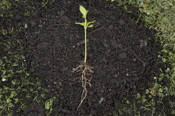 young seedling in a heap of earth