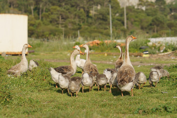 A herd of geese walking across the meadow at the sunny day