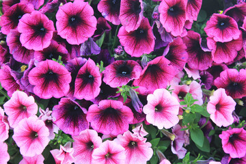 Petunia Flower Plants Close Up View. Blooming Colorful Purple and Pink Petunia Flowers at Summer Park Garden. Nature Image with Flowerbed of Petunias Bloom Outdoors.