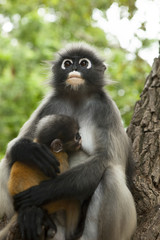dusky leaf monkey mother and baby on tree branch