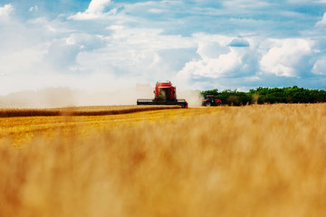 Wall Mural - Bringing in a golden harvest