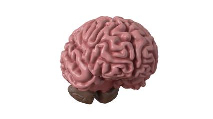 Human brain isolated on white background. 3d illustration