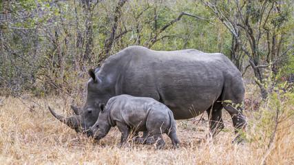 Southern white rhinoceros in Kruger National park, South Africa; Specie Ceratotherium simum simum family of Rhinocerotidae