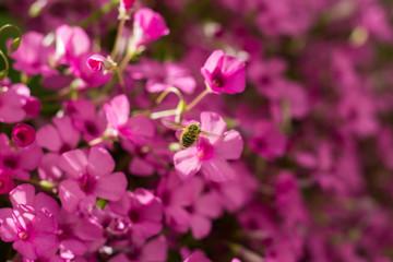Systoechus candidulus on Pink Flowers