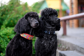 two sitting black poodle