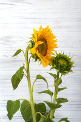 Two sunflowers - one yellow young and one green bud against a white  wooden wall
