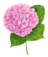 Watercolor illustration of a pink hydrangea isolated on white background.