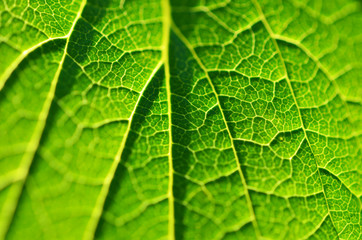 Close-up of leaf, green leaf in the garden. Macro of green leaf in forest. Texture of leaf. Currant leaves.