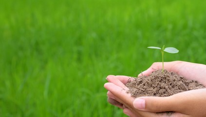 Hands holding small young plant, young tree on green rice background, world earth day concept, plant on soil in hand.