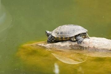 Черепаха на камне