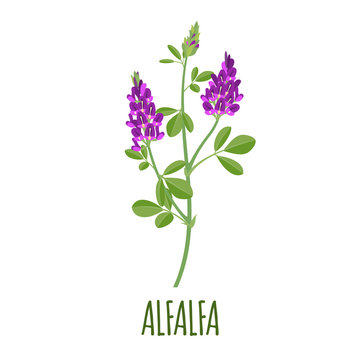 Alfalfa icon in flat style on white background
