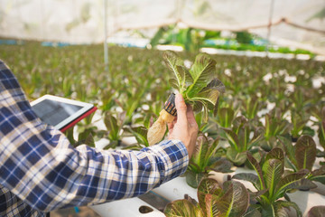 Farmer with tablet for working organic hydroponic vegetable garden at greenhouse. Smart agriculture, farm , sensor technology concept. Farmer hand using tablet for monitoring temperature.