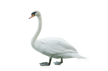 Foto op Aluminium Zwaan White swan isolated