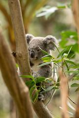 Fototapeta premium Koala siting on the branch in the wilderness. Australia.