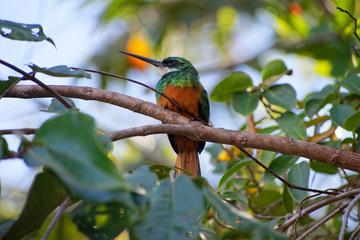 Rufous-tailed Jacamar at the Brazilian cerrado