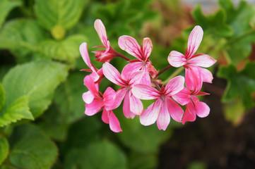 Pelargonium peltatum or ivy-leaf geranium or cascading geranium pink flowers