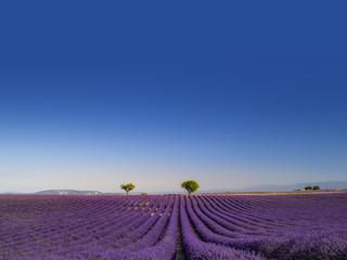 Panorama di campi di lavanda fiorita