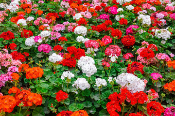 beautiful flower bed of colorful blooming geranium like background in park