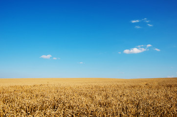 Wall Mural - Golden wheat field with blue sky in background