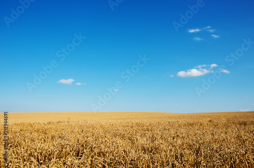 Wall mural Golden wheat field with blue sky in background