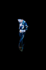 Tail of thai fighting fish.Capture the moving moment of white siamese fighting fish isolated on black background, Betta splendens,Gifts for Arabs,Thailand Culture be alive,Gifts for Europeans