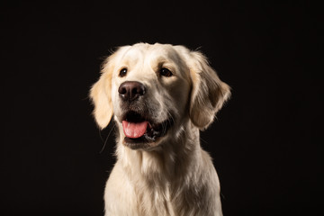 Beautiful beige Labrador retriever dog sitting in front of black background
