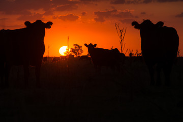 Silhouettes of cows at sunset